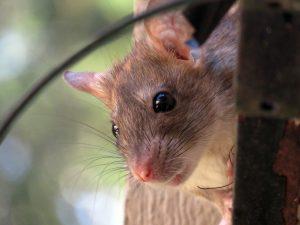 como acabar com ratos dentro de casa