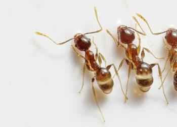 acabar com formigas dedetização