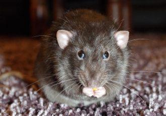 dedetização de ratos, desratização