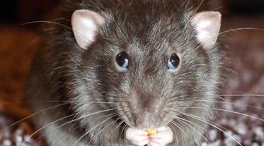 Desratização - Dedetização de ratos