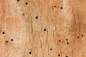 Cupins de madeira seca