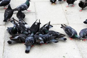 pombos não são atendidos em dedetização