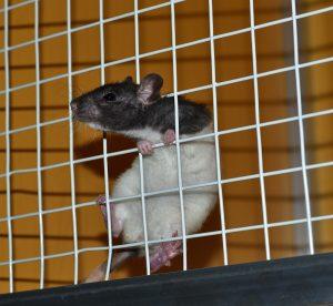 dicas para eliminar os ratos de residências
