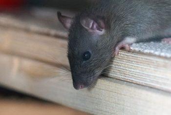6 Dicas para acabar com ratos em casa