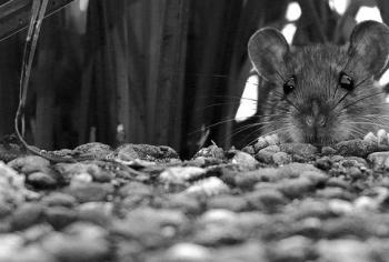 Você não sabe, mas existem três tipos de ratos que assombram nossa cidade
