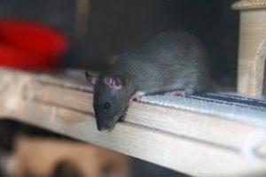 ratos que assombram a cidade