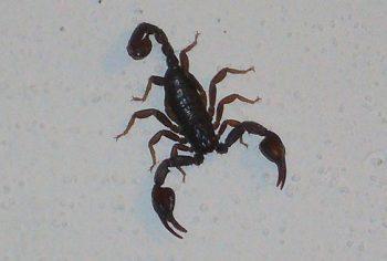 Como acabar com escorpião?