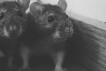 Como acabar com ratos no forro de casa?