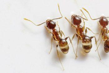 Como acabar com formigas dentro de casa?