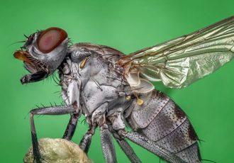 dedetização de moscas