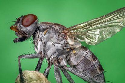 Quanto tempo vive uma mosca?