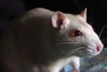 Como saber se tem ratos em casa?