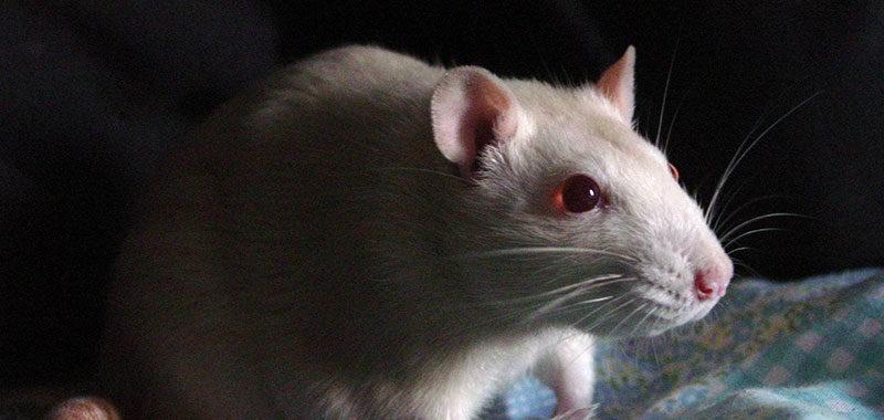 como é coco de rato?