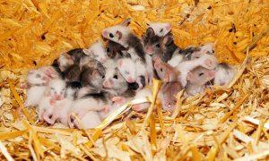 barulho no forro de casa, será que é rato?