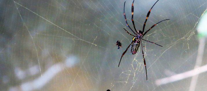 Dedetização de Aranhas