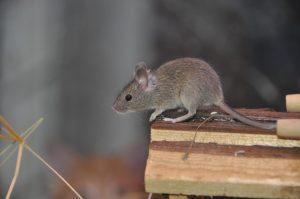 ratos- dedetização