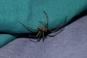 dedetização de aranha - aranha marrom