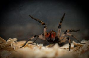 dedetização de aranha - aranha armadeira