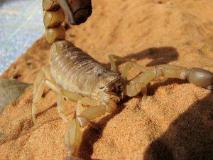 escorpião em são paulo