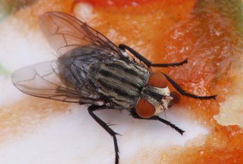 3 ótimos remédios caseiros para acabar com as moscas