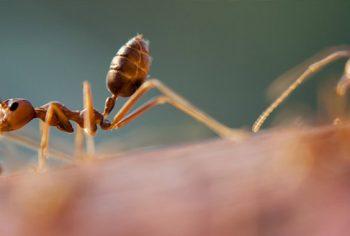 Os tipos de formigas que mais infestam as casas, apartamentos e escritórios