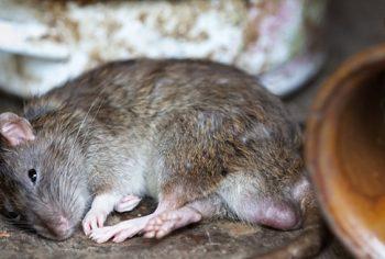 Quais são as doenças transmitidas pelos ratos?