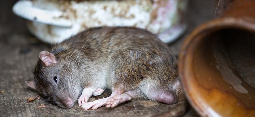 Doenças transmitidas pelos ratos
