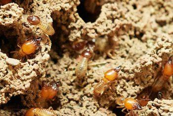 Principais espécies de cupins que infestam casas e edifícios