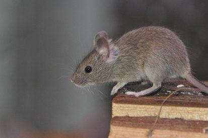 3 odores que vão afastar os ratos da sua casa