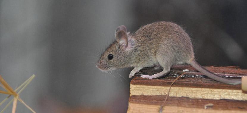 3 odores que afastam ratos da casa