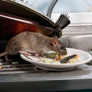 Dedetização de ratos em comércio