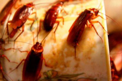 Como identificar uma infestação de baratas?