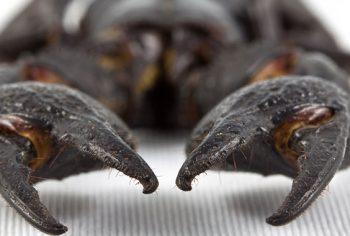6 dúvidas mais frequentes sobre escorpiões