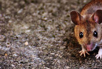 Como descobrir se tem rato no telhado?