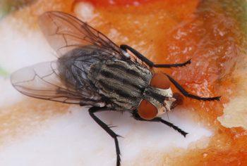 Como espantar moscas?