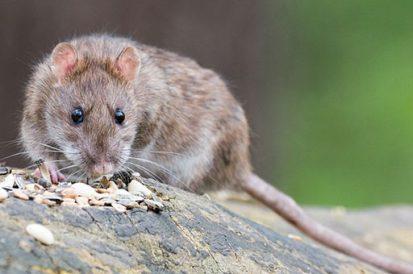 Qual o melhor jeito de acabar com ratos?