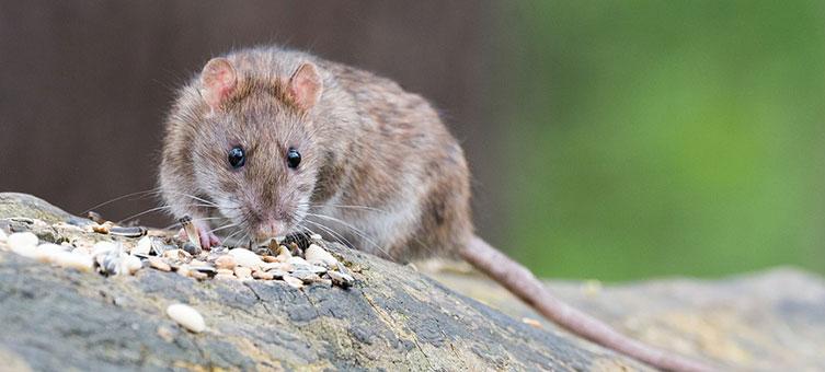 Desratização, a melhor forma de acabar com a infestação de ratos