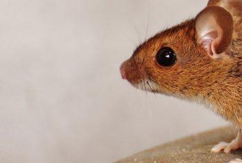 Pulgas de roedores – um perigo que a maioria desconhece