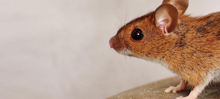 Doenças transmitidas por pulgas de ratos