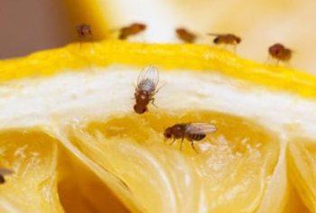 Dica para acabar com mosquitinhos pequenos