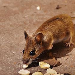 Como acabar com ratos?