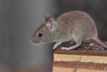 Naftalina espanta ratos?