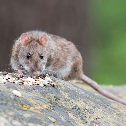 Desinfetante espanta ratos