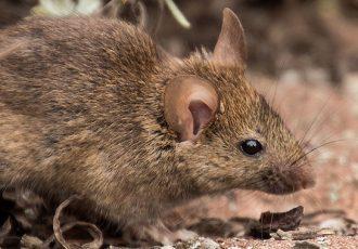 Receita de veneno caseiro para acabar com ratos