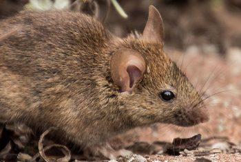 Veneno caseiro para ratos