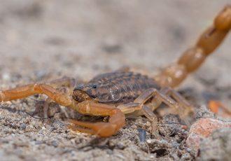 repelentes naturais para afastar escorpiões