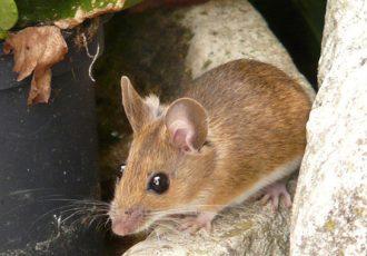 5 locais que os ratos se escondem