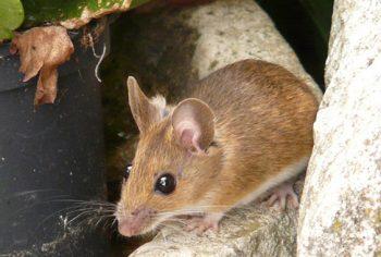4 locais que ratos costumam se esconder nas casas