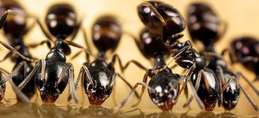 Como eliminar formigas?
