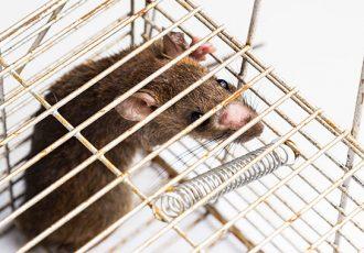 O que fazer para acabar com ratos, baratas,